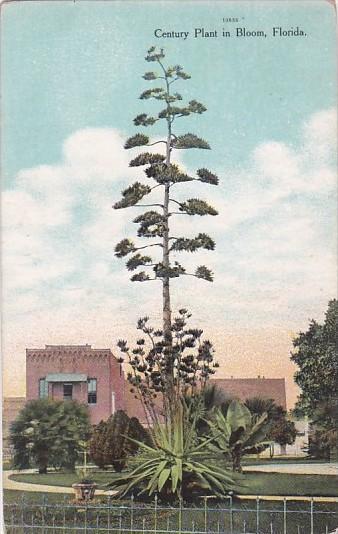 Century Plant In Bloom In Florida Curteich