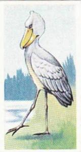 Sweetule Products Vintage Cigarette Card Tropical Birds 1954 No 19 Shoebill S...