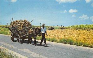 Mule Cart Hauling Sugar Cane Barbados West Indies 1972