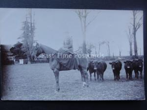 LADY RIDING SIDE SADDLE ON HORSE IN COW FIELD early RP Postcard sent to Tiverton