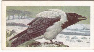 Trade Card Brooke Bond Tea Wild Birds in Britain 2 Hooded Crow
