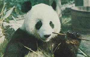 Giant Panda London Zoo 1970s Postcard