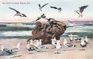 California Long Beach Sea Gulls At The Beach
