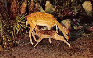Deer Post Card Deer Suckles her Young Fawn Silver Springs, Florida, USA Unused