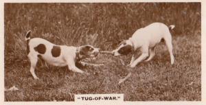 Dog Tug Of War Antique German Real Photo Dogs Cigarette Card
