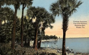 Miami Florida~Biscayne Bay~Pelicans on Beach Uder Cabbage Palmetto Trees~1913 PC