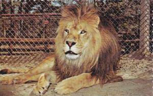 African Lion,  Ontario Zoological Park, Wasaga Beach,  Ontario,  Canada,  40-60s