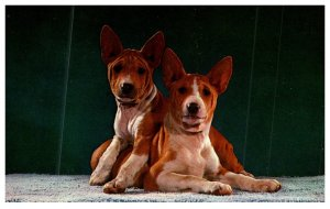 Dog ,   American Basenji