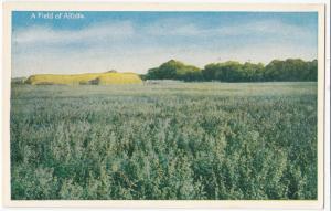 A Field of Alfalfa, 1910s unused Postcard