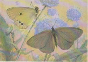 Czech Informational Species Card: Coenonympha oedippus F., Brown Butterflies ...