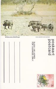 Warthogs, Namibia, South West Africa, 40-60s