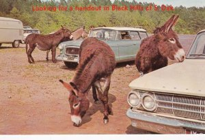 Donkeys, Looking for a handout in the Black Hills of South Dakota, 1970