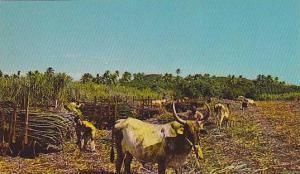 Loading sugar cane , Ox cart , Fiji , 40-60s