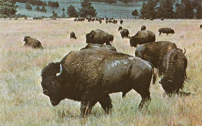 BUFFALO OF THE OLD WEST MONARCH OF THE PLAINS SOUTH DAKOTA WYOMING MONTANA