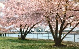 Washington, DC, Jefferson Memorial & Cherry Blossoms, Vintage Postcard g9302