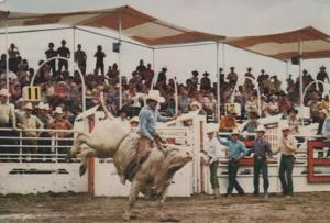 Calgary Brahma Bull Riding Stampede Postcard