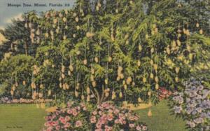 Florida Miami Typical Mango Tree