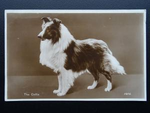 Dog Portrait THE COLLIE Scottish Origin c1930's RP Postcard by Valentine 5875