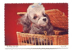 White and Gray Poodle with Blue Ribbon in Hair in a Basket, Photo FPG