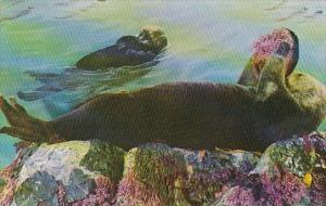 California Pebble Beach The Sea Otter 1959