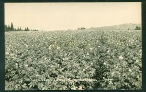 Potato Field in Bloom Caribou Maine ME Real Photo Photograph Postcard RPPC