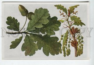 428059 Flower Quercus pedunculata Vintage Sammelwerk Tobacco Card w/ ADVERTISING