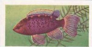 Pukka Tea Vintage Trade Card Aquarium Fish 1961 No 42 Badis Badis