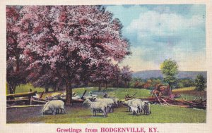 HODGENVILLE, Kentucky, 1900-10s; Greetings, Sheep in a pasture under a tree