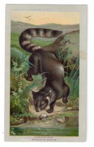 Arbuckle Coffee Trade Card 1890 Cacomixle Zoological # 17