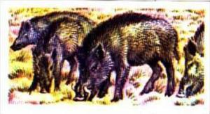 Brooke Bond Trade Card Asian Wildlife No 47 Indian Wild Pig