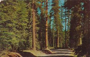 Oregon These Beautiful Virgin Forests Of Fir And Yellow Pine Are Seen On Many...