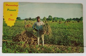 Harvesting Peanuts in Dixie Postcard Harvest Time in the South
