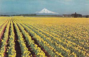 Daffodil Flower Farm - Western Oregon - Union Oil Card