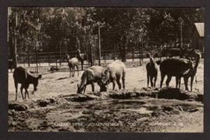 Sambar Deer JOHANNESBURG ZOO South Africa Real Photo PC Postcard