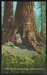Yosemite Mariposa Big Tree Grove CA Ohio and Haverford Edward Mitchell Postc