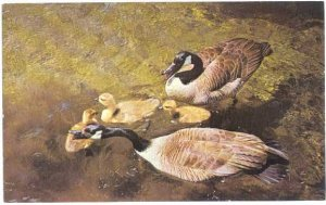 Canada Geese with Three Babies, Chrome