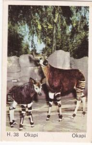 Trade Card Dandy Gum Wild Animals H 38 Okapi
