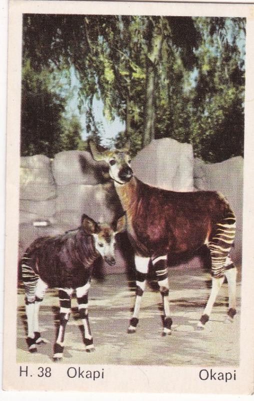 Trade Card Dandy Gum Wild Animals H 38 Okapi