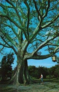 Kapok Tree Hanging Lantern, Clearwater, Florida Postcard