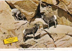 Canada Jasper Rocky Mountain Sheep