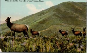 Wild Elk in Foothills of Tetons WY Wyoming Postcard E47