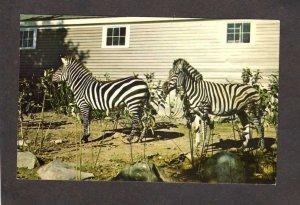 NH Benson Animal Farm Amusement  Park Hudson New Hampshire Postcard Zebras