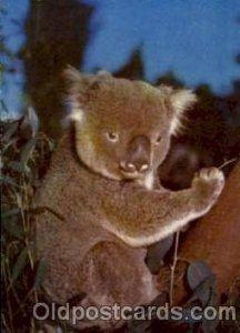 Koala - Australia Bear, Koala Bears 1960