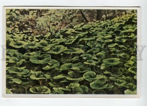 428069 Flower Asarum europaeum Vintage Sammelwerk Tobacco Card w/ ADVERTISING