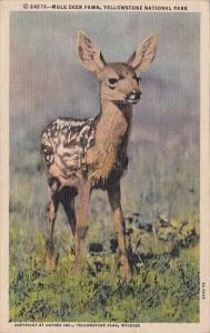Mule Deer Fawn Yellowstone National Park Curteich