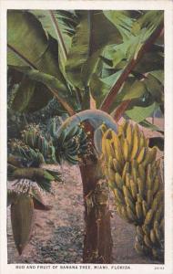 Bud and Fruit Of Banana Tree Miami Florida Curteich