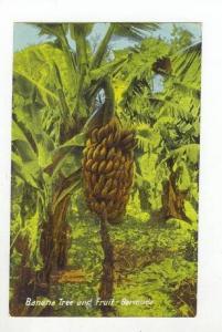 Banana Tree & Fruit, Bermuda, 1900-1910s
