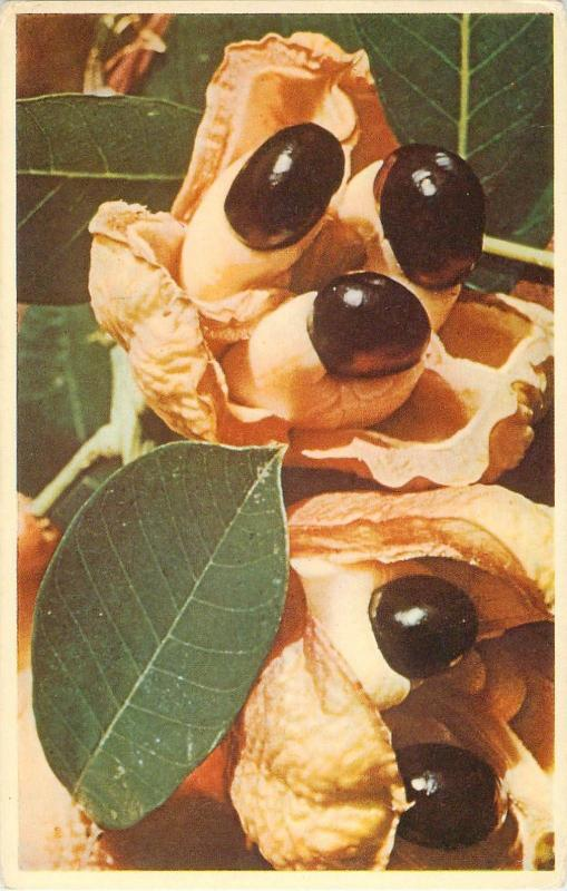Ackee Pods Native Fruits of Jamaica Kodachrome by Amador Packer Postcard