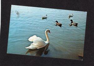 Swans & Ducks At Beech Bend Park, Bowling Green, KY Waterfowl, Birds, Postcard