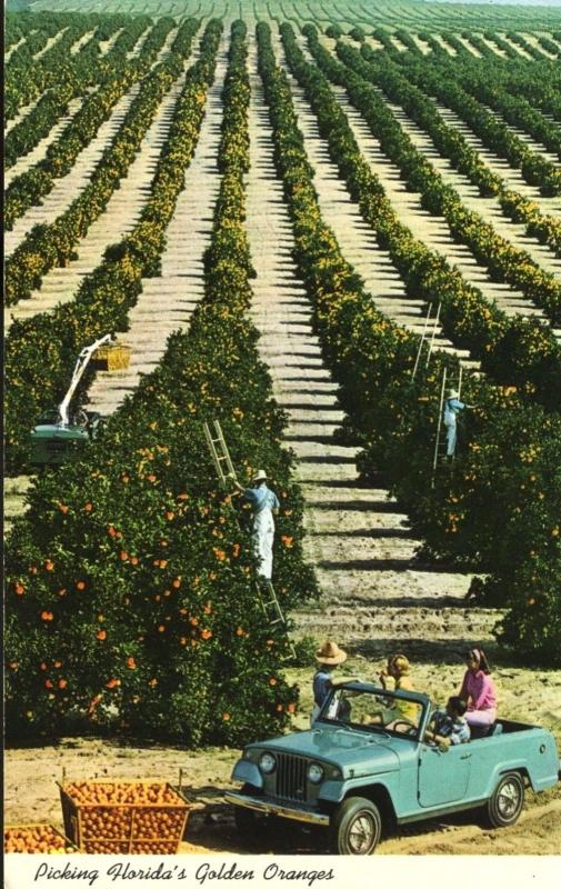 Orange Pickers FL Florida Picking Florida's Golden Oranges Vintage Postcard D2